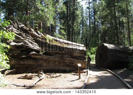 Giant sequoia blown down in 1861, named Hercules, Calaveras Big Trees State Park, California Highway 4