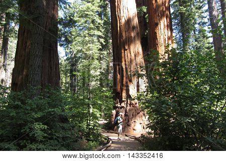 Giant sequoia forest, Calaveras Big Trees State Park, California