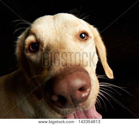 Funny Portrait Of Retriever Dog