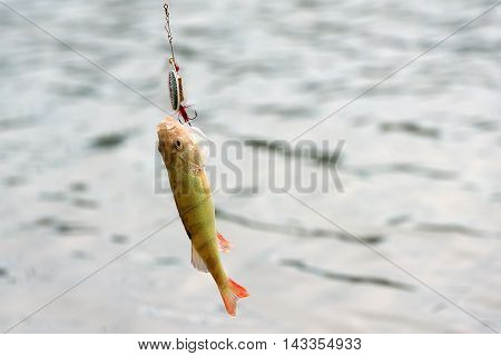 redfin perch perca fluviatilis hooked by a lure during cast fishing