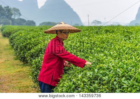 Guilin China - October 18 2013: Portrait of Chinese farmer in traditional straw wide-brimmed hat under the rain - picking tea leaves at field in vicinities of city Guilin China. Tea is a drink originating in China.