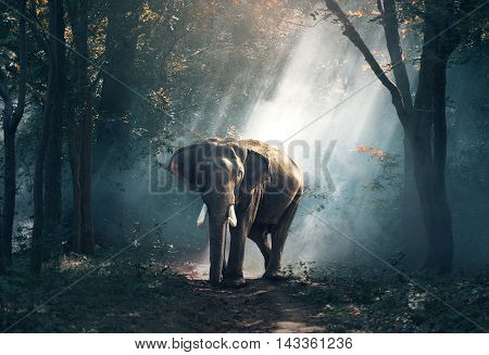 Asia Elephants in the forest, Surin, Thailand