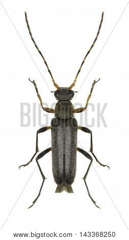 Longhorn Beetle Grammoptera on white Background  -  Grammoptera ruficornis (Fabricius 1781)
