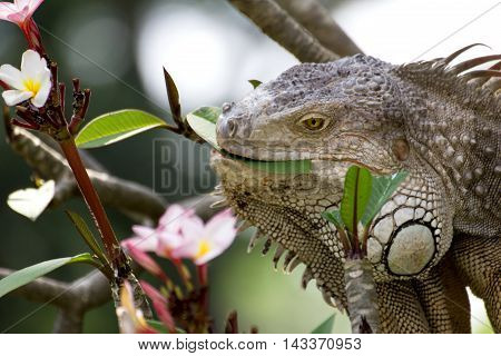 iguana lizard eating flower of Plumaria tree in the wild