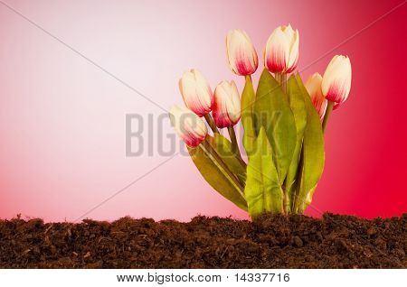 Colourful tulip flowers growing in the soil poster
