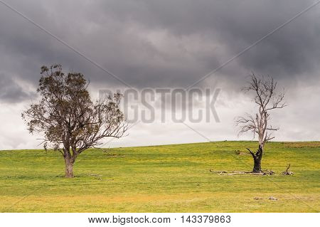 Trees in the Australian bush in a strom near Bothwell, Tasmania, Australia