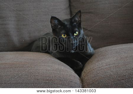 Black cat with white spot and yellow-green eyes lying on a brown sofa between the cushions.
