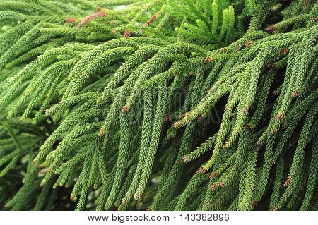 Selaginella Tamariscina. Green Leaves Of Plant In Asia.