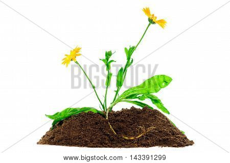 Calendula flower. Growing plant isolated over white background
