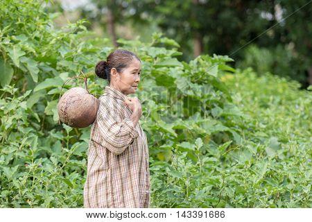 Asian grandmother pick coconut in garden .