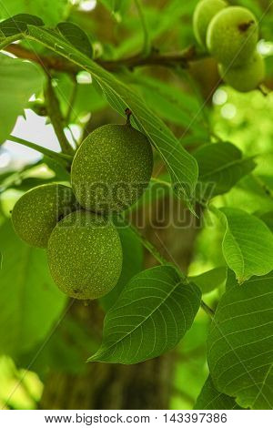 Walnut tree (Juglans regia) branch with fruit in summertime