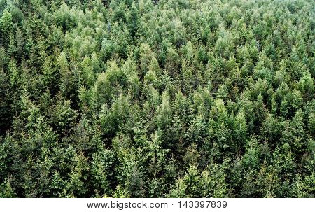 Green shades of spruce monoculture from view above