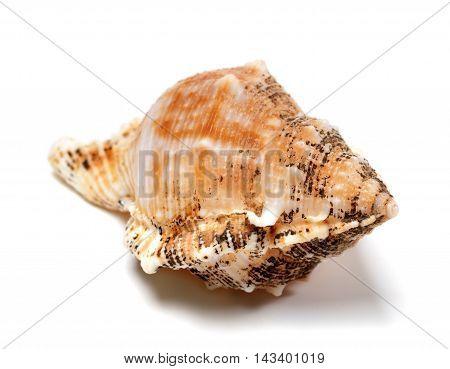 Shell of Bursa bubo (frog snail) isolated on white background