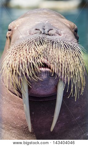 Portrait A walrus closeup over blur background