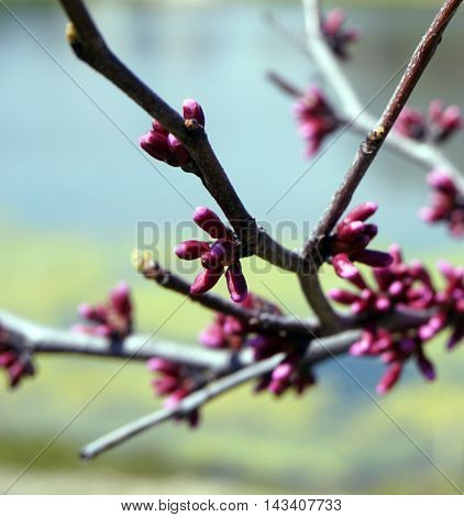 Flower buds on an eastern redbud tree (Cercis canadensis) in Joliet, Illinois during April.
