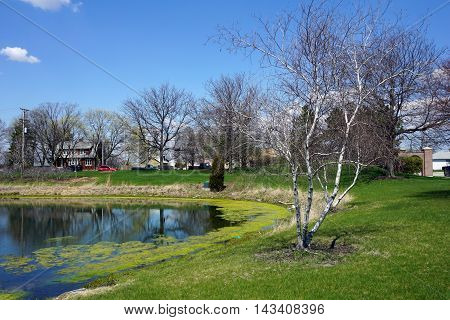 A gray birch tree (Betula populifolia), next to a small man-made lake in Joliet, Illinois, during April