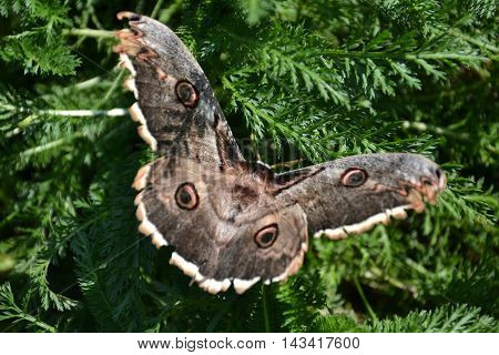 Sphingidae known as bee Hawk-moth. Hummingbird moth. Calibri moth.