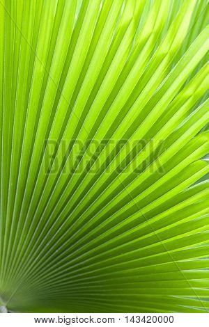 Abstract image of green palm leaf for background.Texture of Green palm Leaf.( blur )