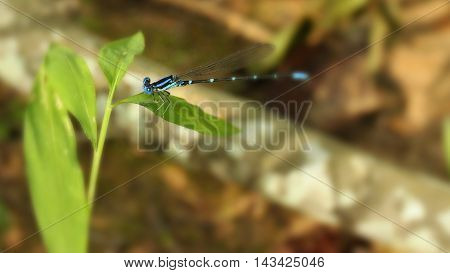 Close up photograph of small blue damselfly.