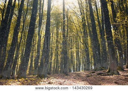 Fascinating Autumn Colors Beech Tree Forest