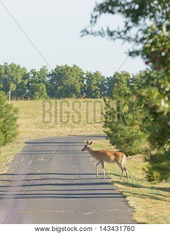 urbanized White-tailed deer fawns  (odocoileus viginianus)