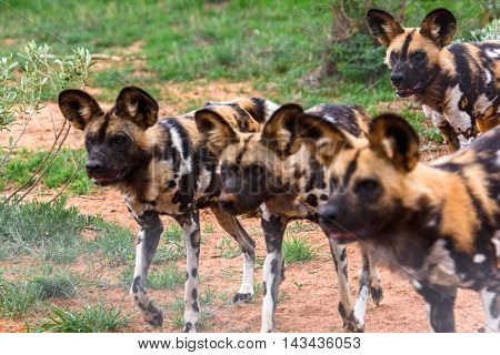 Wild Dog at the Lioness portrait  at the Naankuse Wildlife Sanctuary, Namibia, Africa
