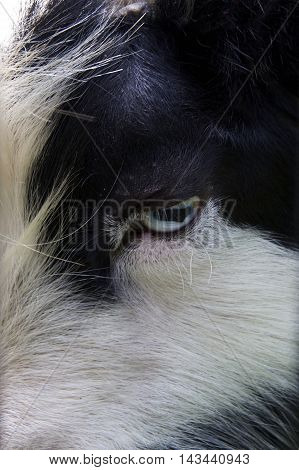 Close up of a black and white goat's head showing a blue eye with horizontal pupil in the center.