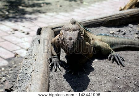 A large horned Iguana lizard in ft. myers southwest florida facing viewer in bright sunshine.