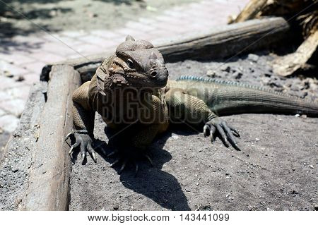 A Large scaly and wrinkly horned Iguana lizard is standing on the ground just below eye level in the bright sunshine in southwest florida.