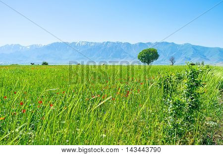 The juicy green meadow in Samarkand suburb with the lonely tree and Pamir-Alay mountains on the background Uzbekistan.