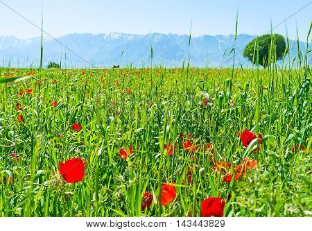 The poppy meadow is the best place to relax and enjoy the peacefull nature Samarkand suburb Uzbekistan.