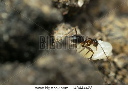 Macro Of Insect Black Ant