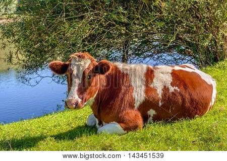 Red Holstein cow looking at the photographer while she ruminates quietly in the grass on the bank of a small stream. It's a sunny day in the summer season.