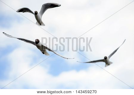 Seagulls soar in blue sky. Birds flying high in clouds. Free wild birds seagulls with the black heads.