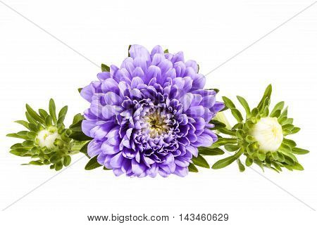 Single violet flower of aster with buds isolated on white background close up