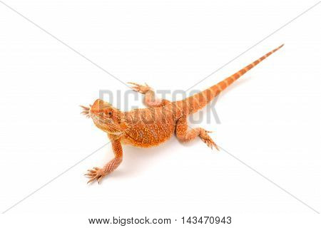 Central bearded dragon isolated in white background