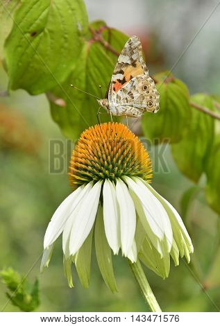 A Small Tortoiseshell butterfly (Aglais Urtica) on White Swan Echinacea flowers also known as Coneflowers - herbaceous flowering perennial plants from the Asteraceae daisy family. Photography taken in north east Italy. A Small Tortoiseshell butterfly (Agl