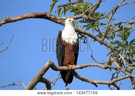 African Fish Eagle (Haliaeetus vocifer) on a Branch. Lake Mburo Uganda