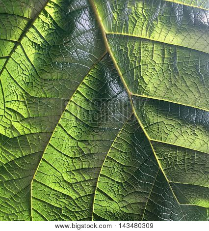 Giant leaf in a tropical house in close up