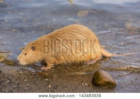 Close up image from side with a Coypu profile image, how it just came out from the river Vltava, in Prague city, Czech Republic