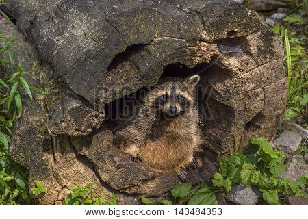 Raccoon hiding in a hollow stump - Funny image with a cute raccoon in a hollow stump. Picture taken in the WIld Park from Pforzheim Germany.