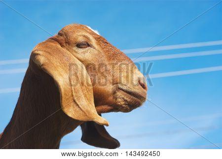 brown goat long ears on blue sky