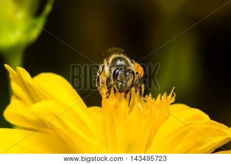 Bee Eating, Sucking The Yellow Cosmos's Syrup