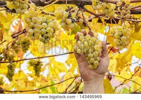 Farmer Harvest White Grapes