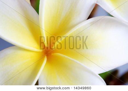 Closeup eines single weiß und Gold Frangipani (Plumeria) Blume.