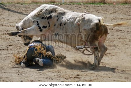 A bull rider on the ground with a bull stepping on him. poster