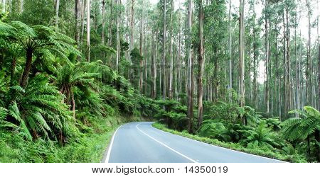 The Black Spur, Victoria, Australia ~ tree ferns beneath towering mountain ash trees.