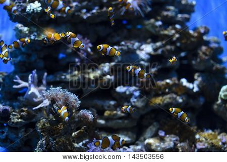 Clownfish or anemonefish known as Nemo in aquarium for background