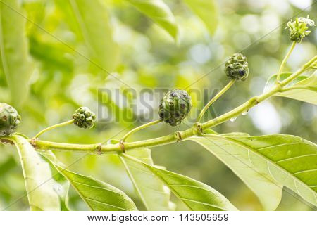 Noni fruit growing on tree on nature background.Fruit for health or herb for health.Outdoor view