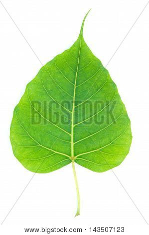 Bo leaves heart-shaped leaves are long end.
